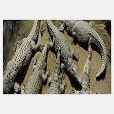 Crocodiles in a crocodile farm Victoria Falls Zimb