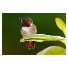 Close up of a Scintillant hummingbird Selasphorus Poster