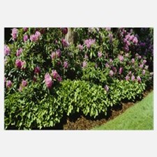 Rhododendrons MI