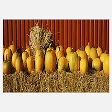 Pumpkins near a fence, Oland, Sweden