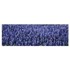 Blue Bonnets Texas Hill Country TX Poster