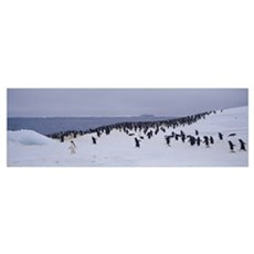 Adelie Penguin Colony Possession Island Antarctica Framed Print