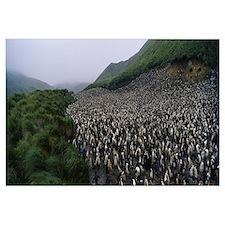 Royal Penguin Colony Macquarie Island Antarctica