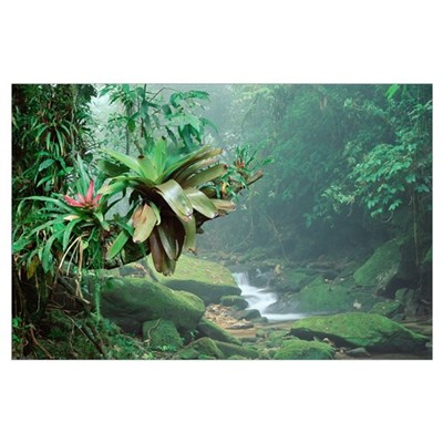 Bromeliads growing along stream in Bocaina Nationa Poster