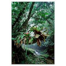 Bromeliads growing in trees along stream in Brazil