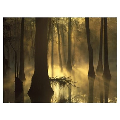 Bald Cypress grove in freshwater swamp at dawn Lak Canvas Art