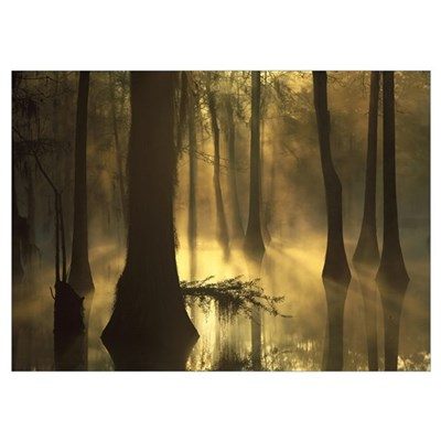 Bald Cypress grove in freshwater swamp at dawn Lak Poster