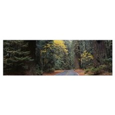 Road Redwood National Forest CA Poster