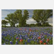 Sand Bluebonnets and Indian Paintbrush in bloom Hi