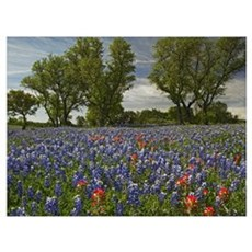 Sand Bluebonnets and Indian Paintbrush in bloom Hi Framed Print