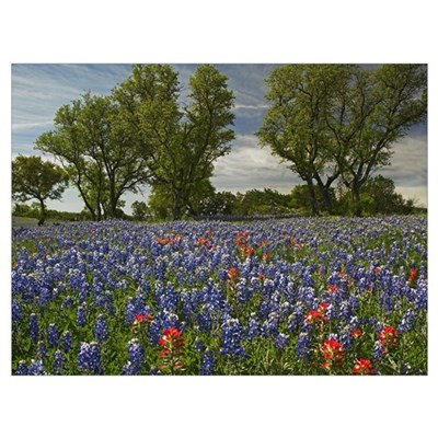 Sand Bluebonnets and Indian Paintbrush in bloom Hi Poster