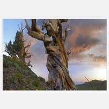 Foxtail Pine tree, twisted trunk of an ancient tre