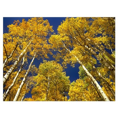 Aspen grove in fall colors, Maroon Bells, Snowmass Canvas Art