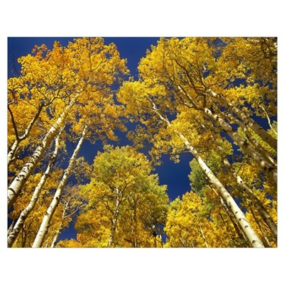 Aspen grove in fall colors, Maroon Bells, Snowmass Poster