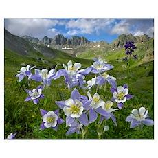 Colorado Blue Columbine meadow at American Basin,  Poster