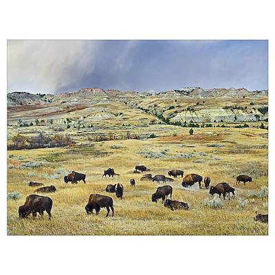 American Bison herd grazing on shortgrass praire n Poster