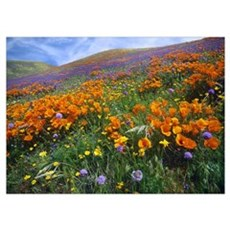 Wildflowers growing on hillside, spring, Antelope Poster