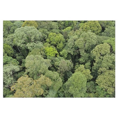 Canopy of lowland mixed dipterocarp forest, Lambir Framed Print
