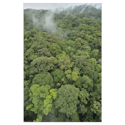 Canopy of lowland mixed dipterocarp forest, Lambir Poster