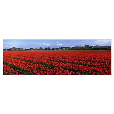 Tulips Egmond Netherlands Poster