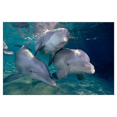 Bottlenose Dolphin trio underwater, Waikoloa Hyatt Poster