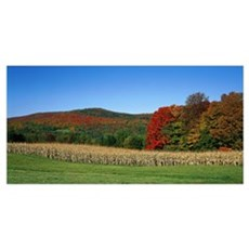 Ripe corn Autumn leaves Vermont Poster