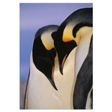 Emperor Penguincourting pair, Atka Bay, Weddell Se Framed Print