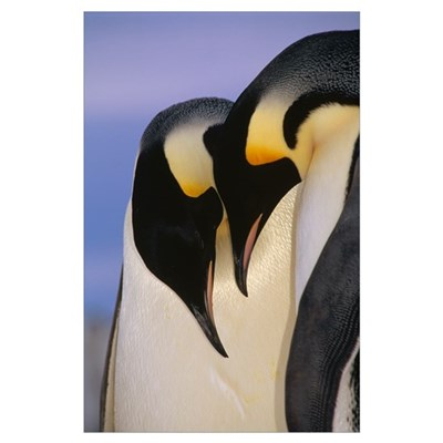 Emperor Penguincourting pair, Atka Bay, Weddell Se Poster