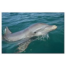 Bottlenose Dolphin (Tursiops truncatus) portrait,  Poster