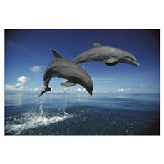 Bottlenose Dolphin (Tursiops truncatus) pair, Cari Framed Print