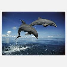 Bottlenose Dolphin (Tursiops truncatus) pair, Cari