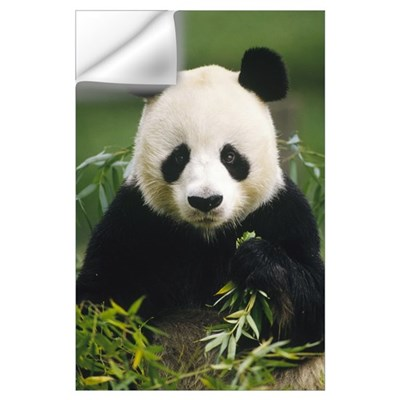 Giant Panda (Ailuropoda melanoleuca) eating bamboo Wall Decal