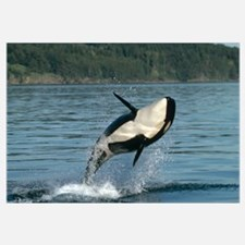 Orca (Orcinus orca) breaching along the Inside Pas