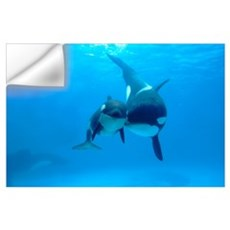 Orca mother and newborn baby, Sea World, Kamogawa, Wall Decal