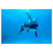 Orca mother and newborn baby, Sea World, Kamogawa,