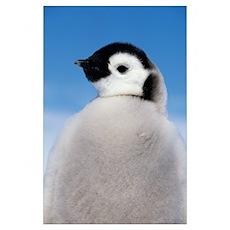 Emperor Penguin (Aptenodytes forsteri) portrait of Poster