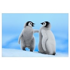 Emperor Penguin pair, Snow Hill Island, Antarctica Poster