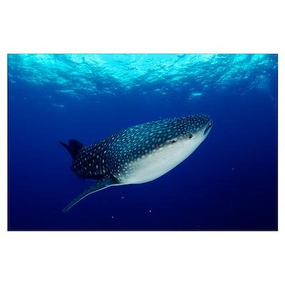 Whale Shark (Rhincodon typus) off Christmas Island Poster