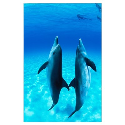 Atlantic Spotted Dolphin (Stenella frontalis) pair Poster