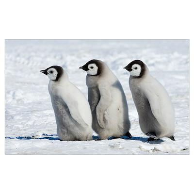 Emperor Penguin (Aptenodytes forsteri) chicks walk Poster