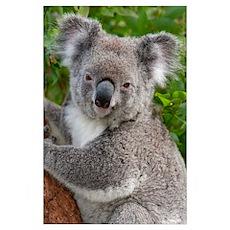 Koala (Phascolarctos cinereus), Australia Poster