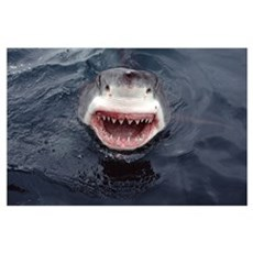 Great White Shark (Carcharodon carcharias) at surf Poster