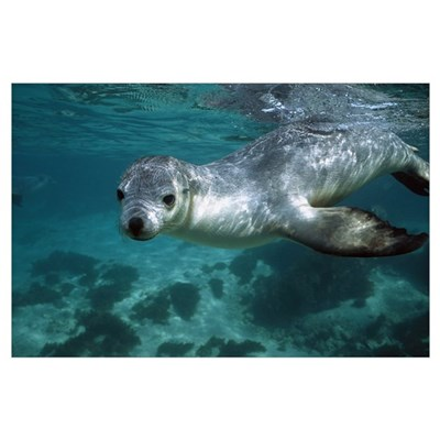 Australian Sea Lion underwater portrait, South Aus Poster