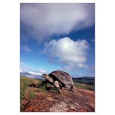 Galapagos Tortoise on caldera rim, Alcedo Volcano,