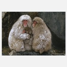 Japanese Macaque family huddled together for warmt