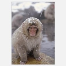 Japanese Macaque in hot springs, Japanese Alps, Na