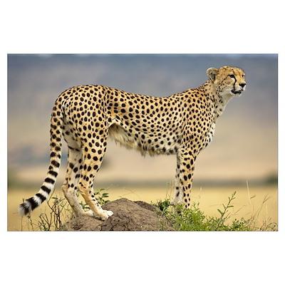 Cheetah on termite mound, Masai Mara National Rese Poster