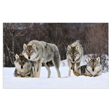 Gray Wolf (Canis lupus) group, Norway Poster