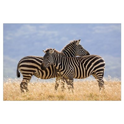 Burchell''s Zebra pair, Lake Nakuru National Park, Poster
