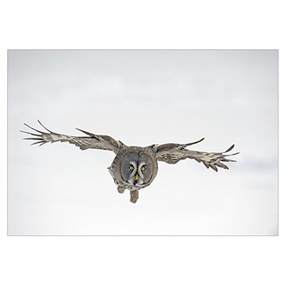 Great Grey Owl (Strix nebulosa) flying, Finland Canvas Art